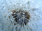 Dandelion by VDragosPhotography