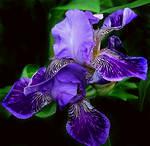 Iris by VDragosPhotography