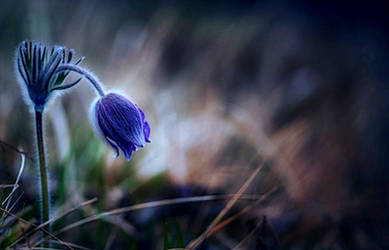 Bluebell by VDragosPhotography