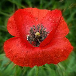 Poppy Primadonna by VDragosPhotography