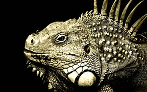 Iguana ~ wallpaper