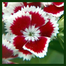 Flower 003 by inforcer