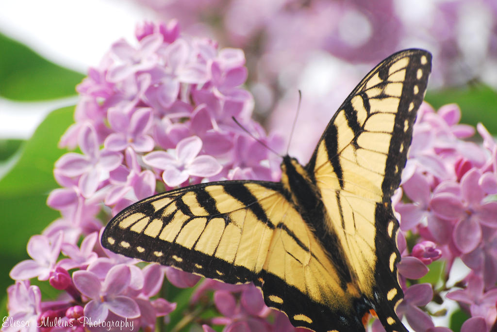 Butterfly and lilacs by the thin ice on deviantart for Lilac butterfly wallpaper