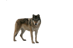 Wolf cut out