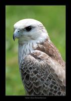 Saker Falcon by Velvet--Glove