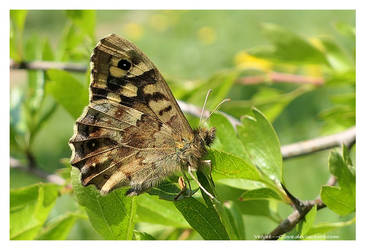 Speckled Wood on Hawthorn by Velvet--Glove