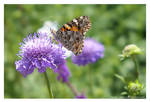 Painted Lady on Scabious by Velvet--Glove
