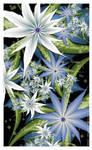 Winter Starflowers