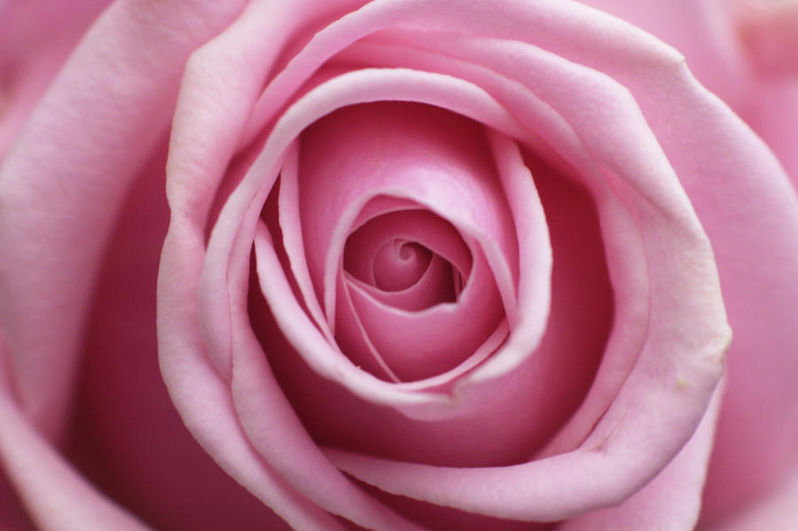 Macro of fresh pink rose open bud | Stock Photo | Colourbox