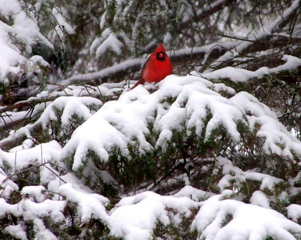 Snow Bird Red Cardinal wallpaper