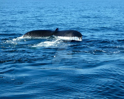 Humpback Whale Tale 2