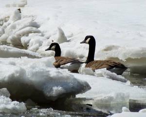 Canadian Geese Icebreakers
