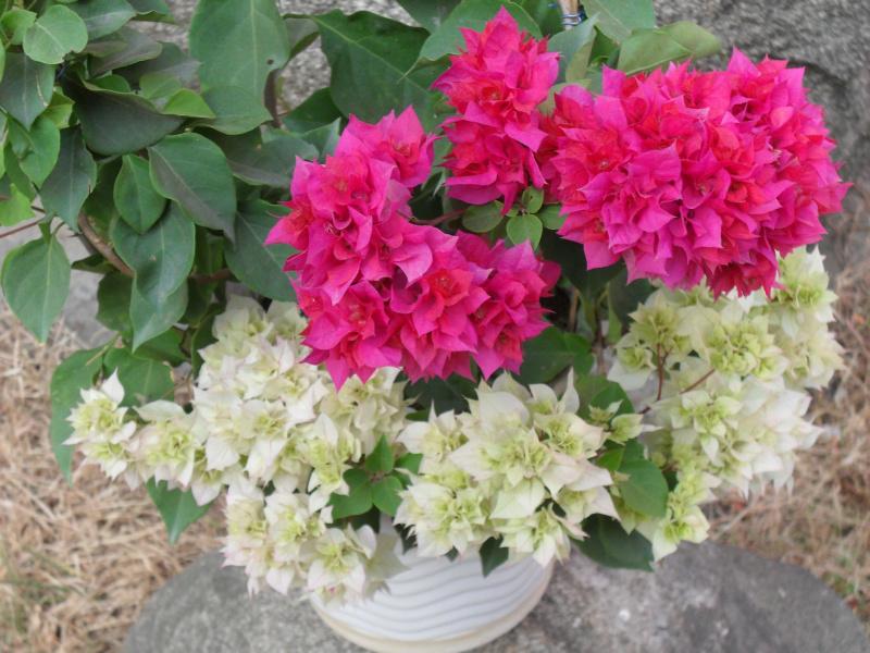 三角梅分类图片 - fdycq - 费家村----老费的花园