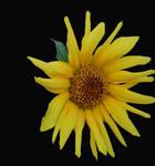 Flower Stock 001 by cfosgate