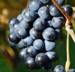 Grape Stock 001 by cfosgate