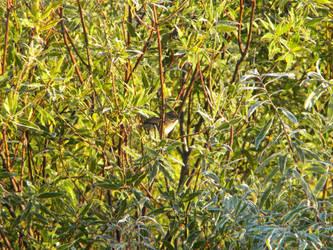 Finch in the Bush