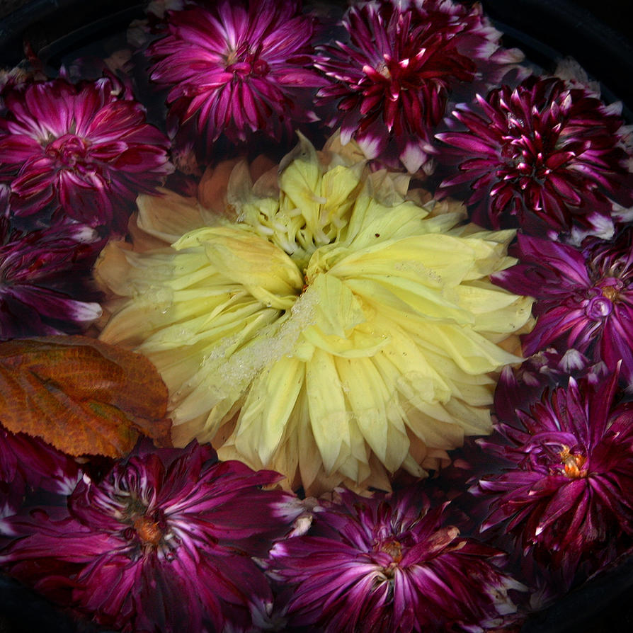 Autumnal Dahlia Offering by wiebkerost