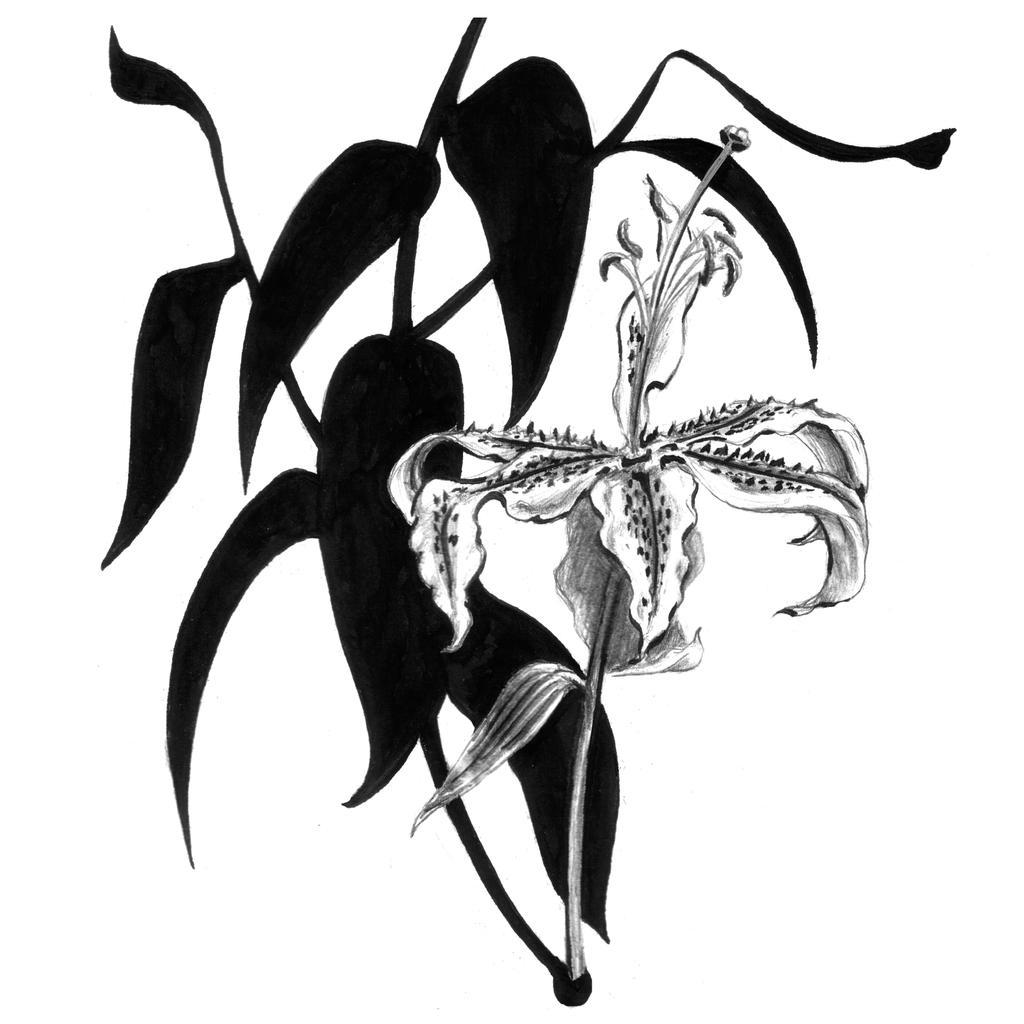 Lilium by wiebkerost