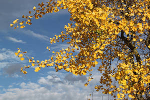 Ginkgo Autumn Colors by wiebkerost
