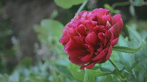 Peony at Dusk by wiebkerost