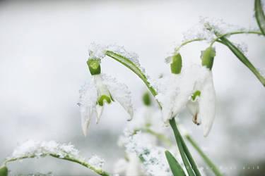 Snowdrops by wiebkerost