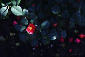 Camellia Flower by wiebkerost