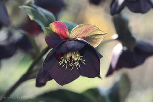 Black Lenten Rose by wiebkerost