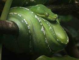 Green Tree Python 20D0028919 by Cristian-M