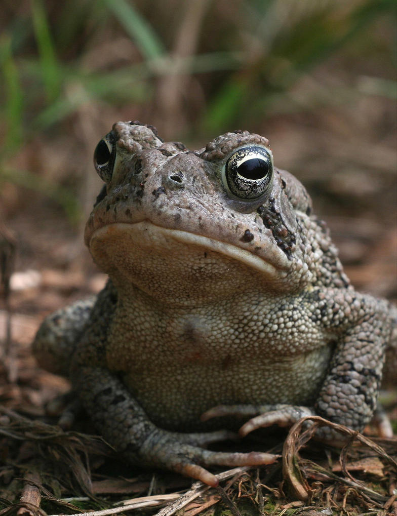 Fowlers Toad vs American Toad Fowler 39 s Toad Xt0017448 by