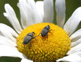 Weevils on Daisy 20D0030307 by Cristian-M