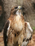 Red-Tailed Hawk 20D0034727