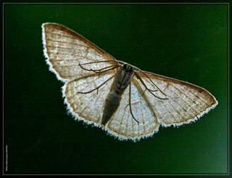 Moth 20D0009636 by Cristian-M