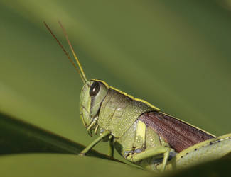 Grasshopper 20D0017310 by Cristian-M
