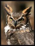 Great Horned Owl 20D0024768