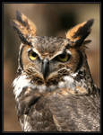 Great Horned Owl 20D0024768