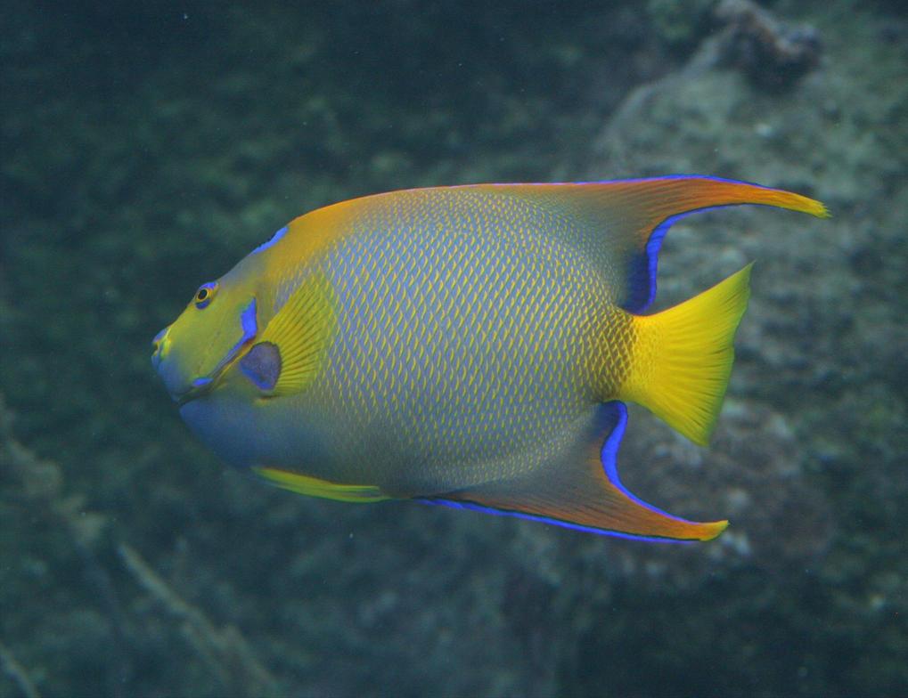 Queen Angelfish 20D002...