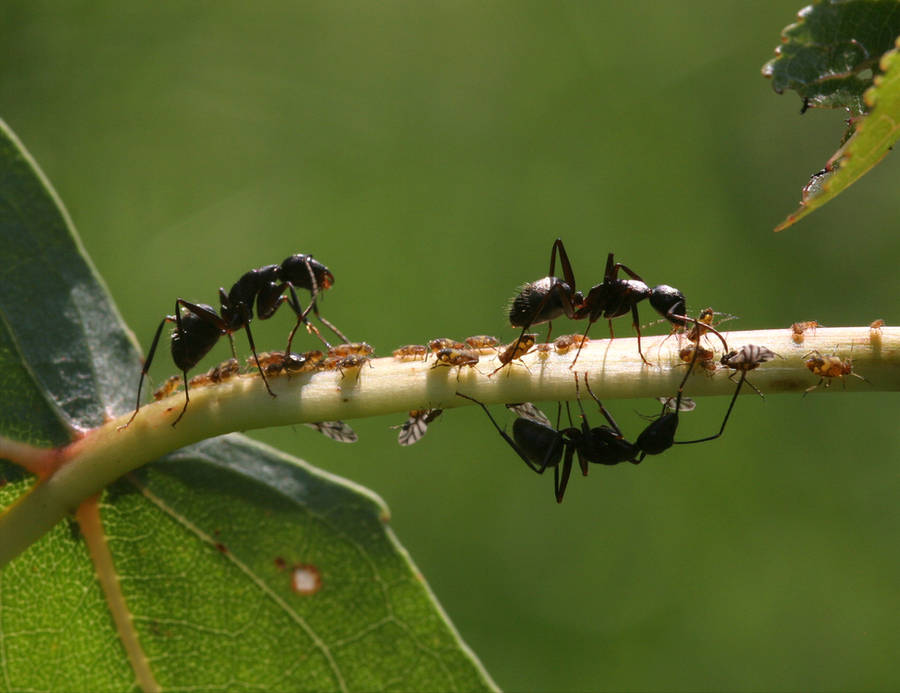Ants and Aphids 20D0032786 by Cristian-M