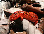 Red Salamander XT0004829