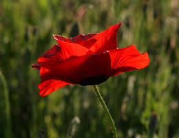 Red Corn Poppy 20D0026061 by Cristian-M