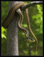 Garter Snake 40D0004548 by Cristian-M