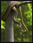 Garter Snake 40D0004548