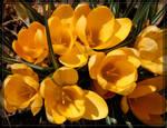 Yellow Crocus 20D0046122