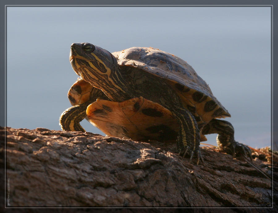 Red-eared Slider 20D0046576 by Cristian-M
