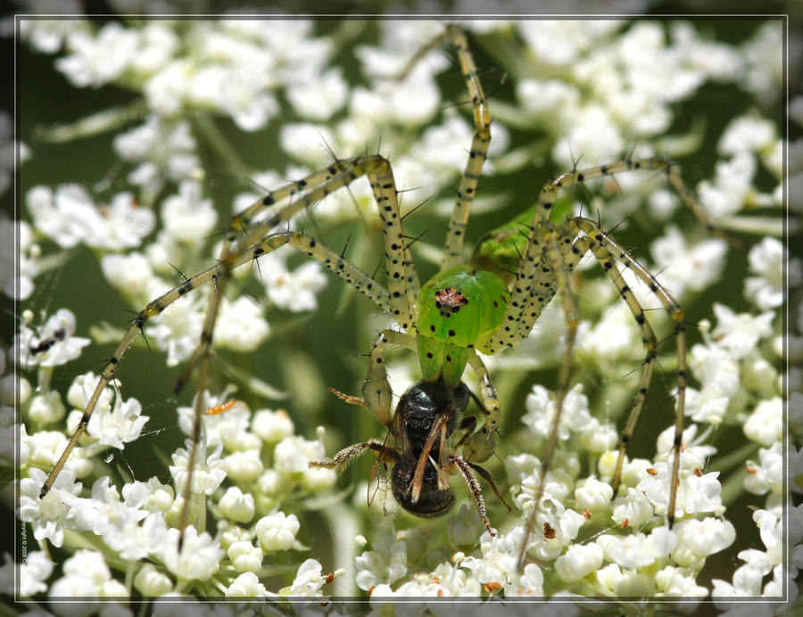 Green Lynx Spider 40D0017906 by Cristian-M