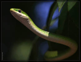 Rough Green Snake 40D0019612 by Cristian-M