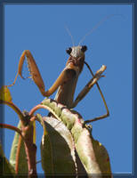 Chinese Mantis 20D0037842 by Cristian-M