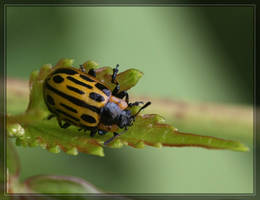 Leaf Beetle 40D0013010 by Cristian-M