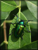 Dogbane Beetle 40D0013573 by Cristian-M