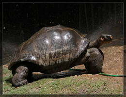 Galapagos Tortoise 40D0017137 by Cristian-M