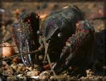 Crayfish 20D0039338